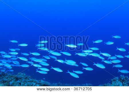 Fish shoal on blue ocean background