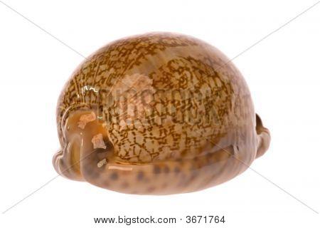 Cowrie Sea Shell