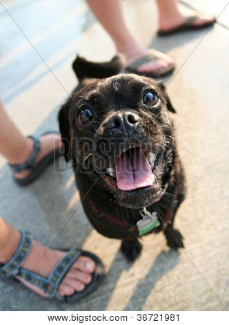 a pug mix at a public pool