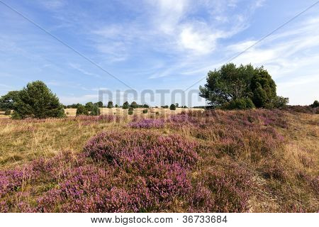 Blooming heath landscape at Lower Saxony, Germany