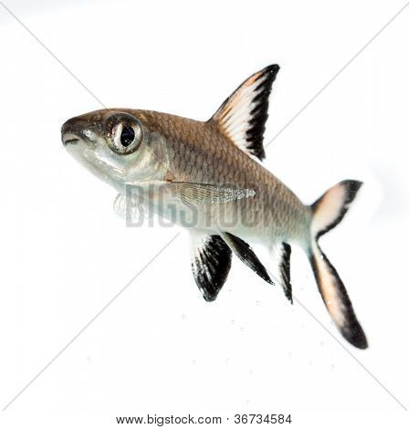 Bala Shark or Silver Shark (Balantiocheilus melanopterus) isolated on white