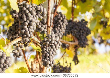 Cachos de uvas azuis penduradas em uma vinha velha vinha em luz de tarde quente, close-up.