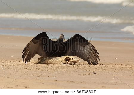 Turkey Vulture with a Lake Sturgeon on the Beach