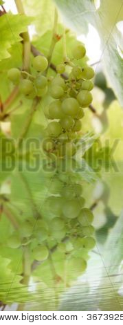 Green Grapes 3