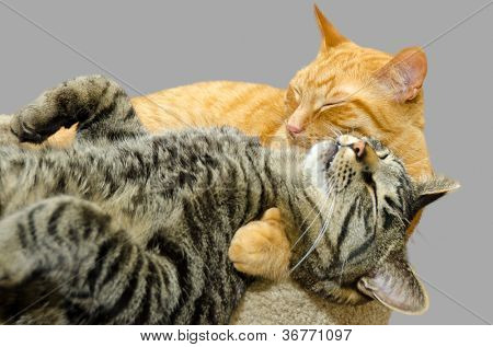 One cat grooming another cat isolated on grey background.