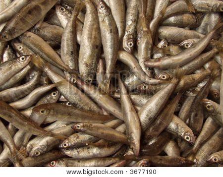 Fish Opulence