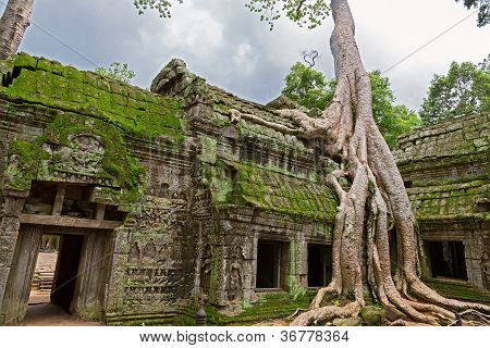 Trees in Ta Prohm, Angkor Wat