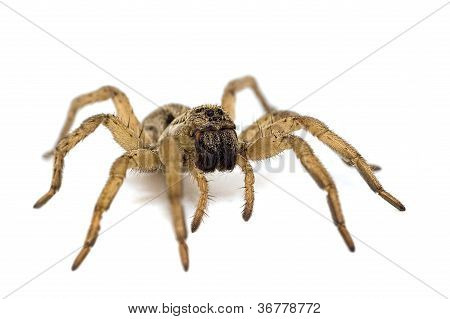 Wolf spider isolated on white background