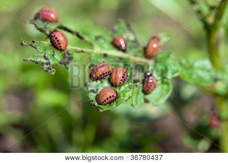 die rote Colorado-Beetle-Larven, die Fütterung auf die Kartoffel-Blatt