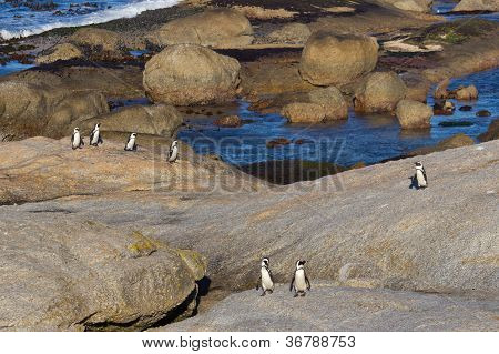 African Penguins Coming Ashore