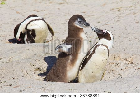 African Penguin Chick Demanding Food