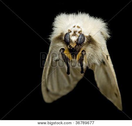 Flying Fluffy Moth