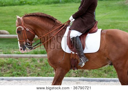 Lusitano Horse with Equestrian