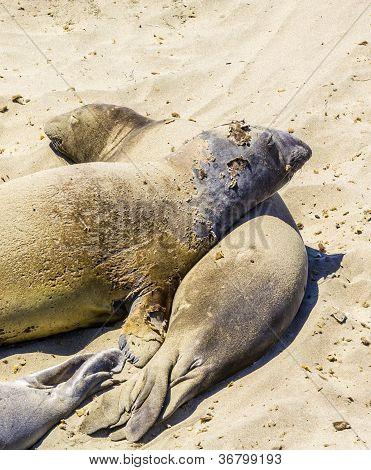 Lobos marinos relajación y dormir en la playa de Sandy