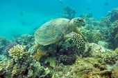 image of mauri  - Sea turtle eating coral in the natural environment - JPG