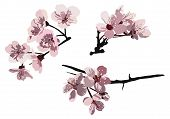 picture of cherry blossom  - Three different vector illustrations of groups of cherry blossoms from a tree - JPG