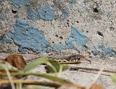 picture of harmless snakes  - A garter snake crawling on concrete .