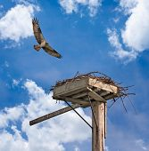 pic of osprey  - Irritated Adult Osprey  - JPG