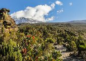 stock photo of kilimanjaro  - Perky flowers bask underneath the Kibo cone - JPG