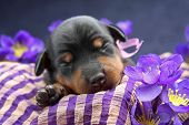 stock photo of miniature pinscher  - The Miniature Pinscher puppy 5 days old