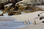 image of jackass  - African or Jackass penguins on Boulders Beach South Africa - JPG