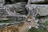 picture of cervus elaphus  - Cervus Elaphus is a mediterranean wild mammal - JPG