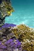 stock photo of fire coral  - coral reef with hard and fire corals on the bottom of red sea in egypt - JPG
