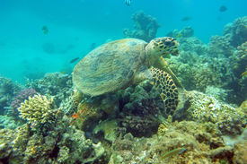 picture of mauri  - Sea turtle eating coral in the natural environment - JPG