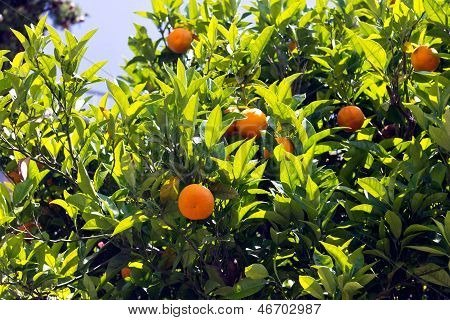 Orange Tree , on one sunny day, cote dazur