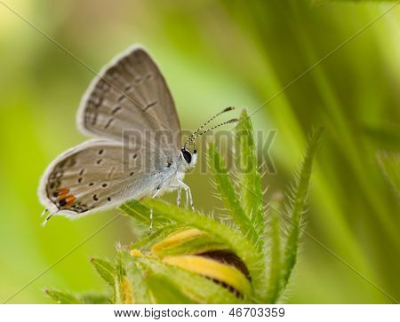 Eastern Tailed-Blue butterfly, Everes comyntas, resting on a Black-Eyed Susan flower against summer green background