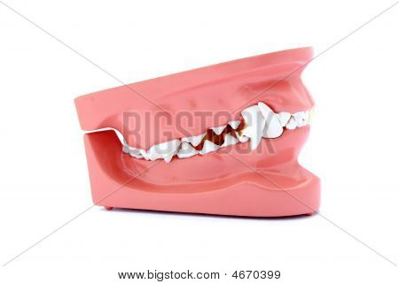 Dog Teeth Model