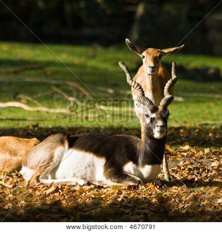 Blackbuck Or Indian Antilope