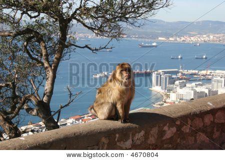 Barbary Ape Overlooking Gibraltar