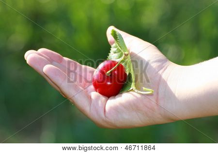 Hand Of A Child Who Holds The Mature Red Cherry Just  Picking With Green Leave