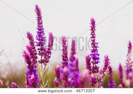 sage salvia plant purple flower garden nature leaf green blossom