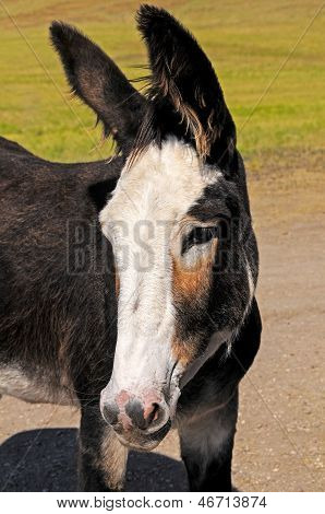 Closeup Of A Young Burro