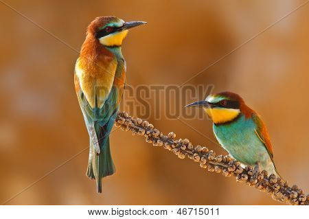 European Bee-eater Couple On A Branch