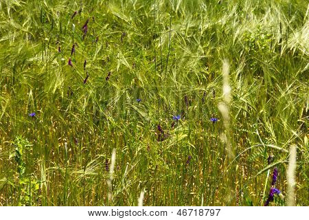 Closeup Of Field With Some Blue Flowers