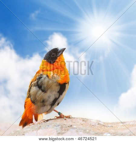 The Southern Red Bishop or Red Bishop (Euplectes orix) against sunny sky.. Closeup with shallow DOF.