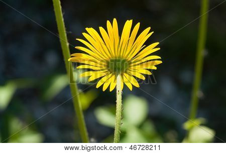 Yellow daisy with green louse.