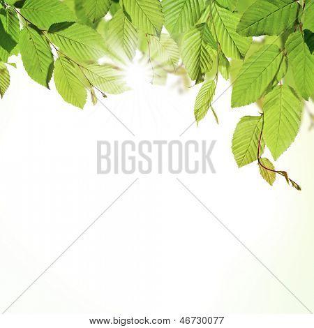 Hornbeam leaves with sunshine, isolated on white background