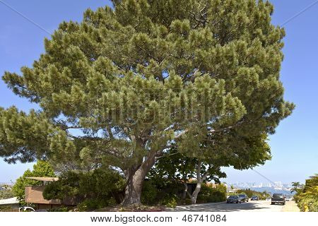 Large Pine Tree Point Loma San Diego California.
