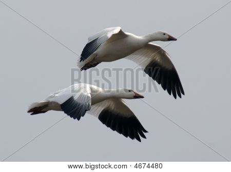 Nieve gansos en vuelo