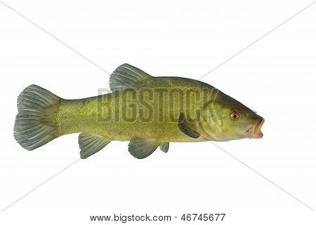 Flowing Tench