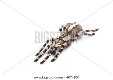 Indian Ornamental Tarantula (poecilotheria Regalis)