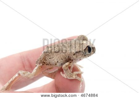 African Big Eyed Tree Frog (leptopelis)