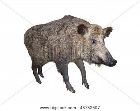 Wild Boar Pig, Isolated Over White