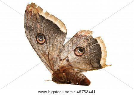 Giant Silk Moth Butterfly