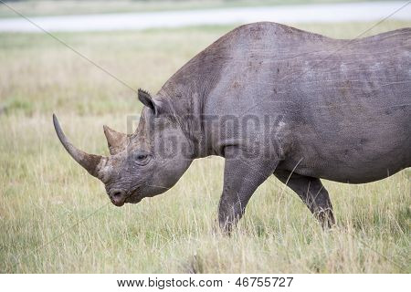 Black Rhino walking