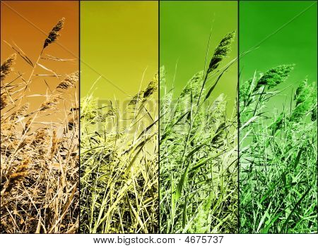 Multicolor Stalks Of Wheat